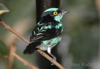 Dacnis lineata - Black-faced Dacnis