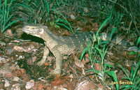 Varanus albigularis - White-throated monitor
