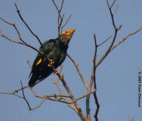 Golden-crested Myna - Ampeliceps coronatus