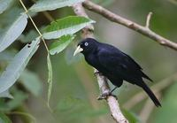 Scarlet-rumped Cacique (Cacicus uropygialis) photo