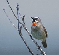 Siberian Rubythroat (Luscinia calliope) photo