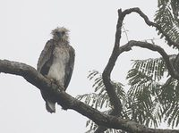Harpy Eagle (Harpia harpyja) photo