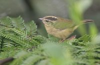 Three-striped Warbler (Basileuterus tristriatus) photo