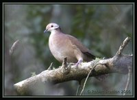 Lined Quail-Dove - Geotrygon linearis