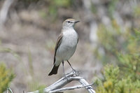 White-browed Ground-Tyrant - Muscisaxicola albilora