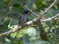 Rose-throated Becard - Pachyramphus aglaiae
