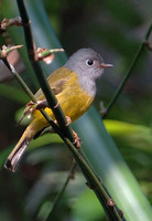 Gray-headed Canary-flycatcher - Culicicapa ceylonensis
