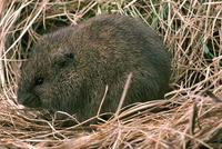 The Meadow Vole, or