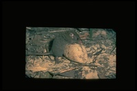 : Antechinus stuartii; Broad-footed Marsupial Mouse