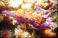 : Flabellina iodinea; Spanish Shawl Nudibranch