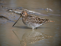 꺅도요 Gallinago gallinago | common snipe
