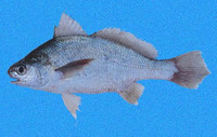 Stellifer fuerthii, White stardrum: fisheries