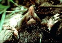 Image of: Scalopus aquaticus (eastern mole)