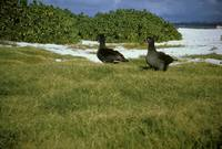 Phoebastria nigripes - Black-footed Albatross