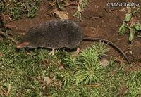 Sorex alpinus - Alpine Shrew