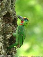Red-throated Barbet - Megalaima mystacophanos