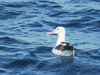 (Northern) Royal Albatross (Diomedea (epomophora) sanfordi) photo