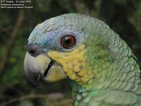 Orange-winged Parrot - Amazona amazonica