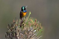Orange-breasted Sunbird - Anthobaphes violacea