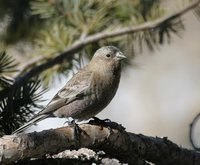 Brown-capped Rosy-Finch - Leucosticte australis