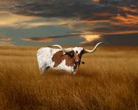 texas longhorn with rose 1 2.jpg (373722 bytes)