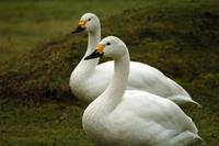 ...A pair of Bewick's swans standing on the grass. Their beaks show the distinctive yellow markings