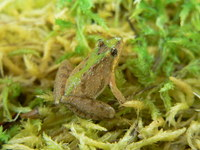 : Acris gryllus; Southern Cricket Frog