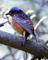 White-throated Rock Thrush » Monticola gularis