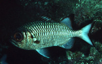 Myripristis adusta, Shadowfin soldierfish: fisheries
