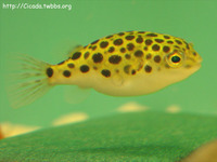 Tetraodon nigroviridis, Spotted green pufferfish: aquarium, bait