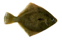 Rhombosolea plebeia, New Zealand flounder: fisheries, gamefish