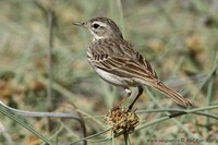 Anthus berthelotii - Berthelot's Pipit