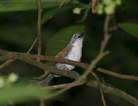White-breasted Babbler - Stachyris grammiceps