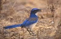 Western Scrub-Jay (Aphelocoma californica) photo