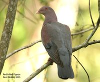 Red-billed Pigeon - Patagioenas flavirostris