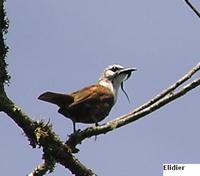 Three-wattled Bellbird - Procnias tricarunculata