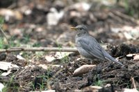 Tickell's Thrush - Turdus unicolor