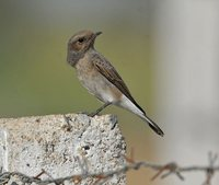 Variable Wheatear - Oenanthe picata
