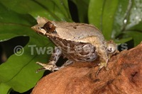 : Megophrys montana; Asian Horned Frog
