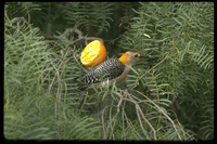 : Melanerpes aurifrons; Golden-fronted Woodpecker