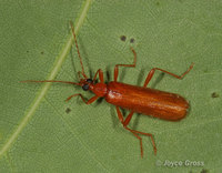 : Dendroides concolor; Fire-colored Beetle