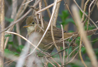 Thick-billed Warbler / Acrocephalus aedon