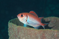 Myripristis jacobus, Blackbar soldierfish: fisheries, aquarium