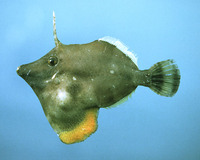 Monacanthus ciliatus, Fringed filefish: fisheries, aquarium