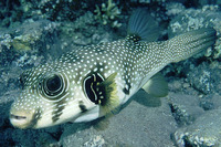 Arothron hispidus, White-spotted puffer: fisheries, aquarium