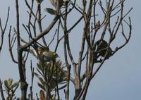 Zosterops lateralis - White-eye