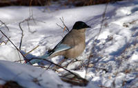 Image of: Cyanopica cyanus (azure-winged magpie)