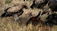 Image of: Gyps africanus (African white-backed vulture)
