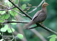 Little Cuckoo Dove - Macropygia ruficeps
