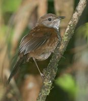 Friendly Bush Warbler - Bradypterus accentor